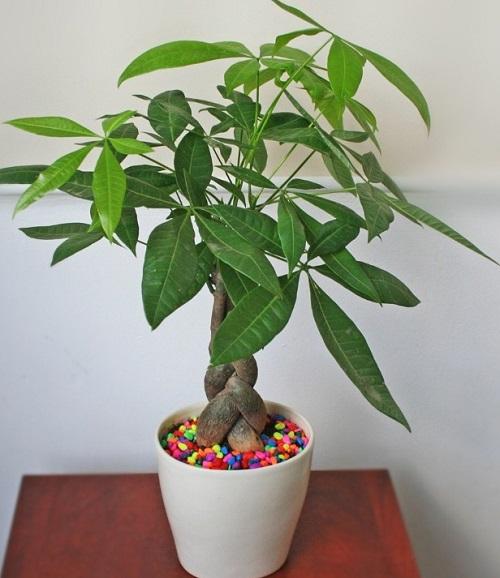 Mệnh Mộc trồng cây gì